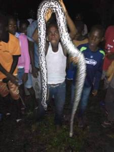 , See the huge pythons trapped in the flood that ravaged Ahoada, Rivers State (Photos), Effiezy - Top Nigerian News & Entertainment Website