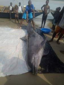 , See how a Dolphin was killed in Bayelsa State (Photos), Effiezy - Top Nigerian News & Entertainment Website