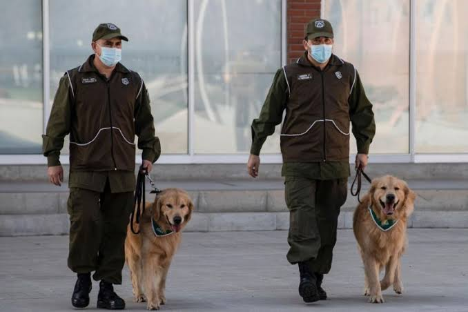 Sniffing dogs to detect COVID-19 at Dubai airpor