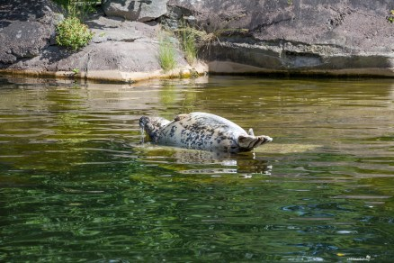 Lazy seal at the Skansen museum in Stockholm