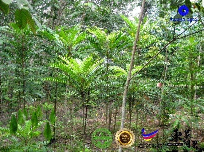 红色东革阿里 加强身体免疫力 增强细胞再生 软化血管 Tongkat Ali 纯天然有机绿色植物 Awana Apex Manufacturer A003-C02