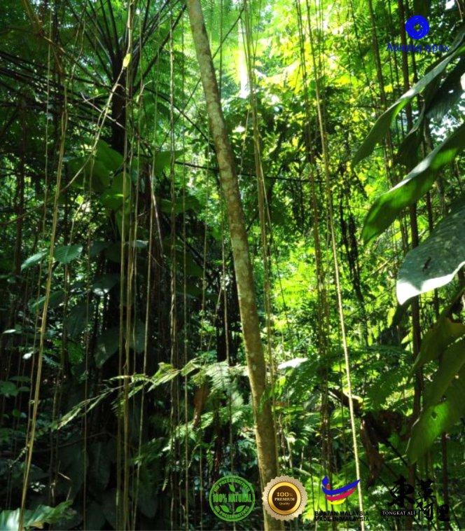红色东革阿里 加强身体免疫力 增强细胞再生 软化血管 Tongkat Ali 纯天然有机绿色植物 Awana Apex Manufacturer A003-C04