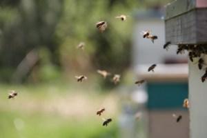 bees, honey bees, flight ins
