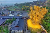 ancient-ginkgo-rains-gold-at-a-buddhist-temple-in-china-1