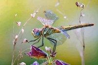 dragonfly26