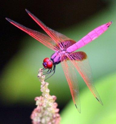 dragonfly_magenta_hongkong