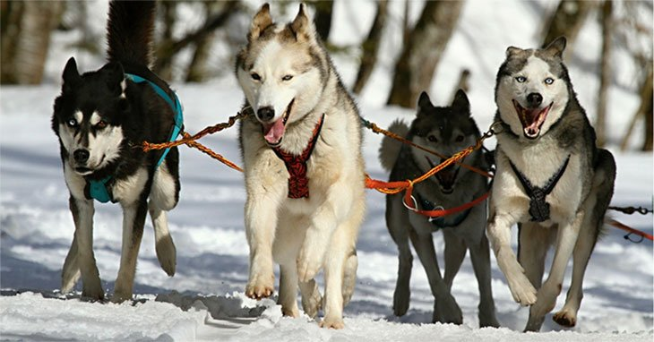 How Much Do Huskies Cost? All You Need to Know Before Buying