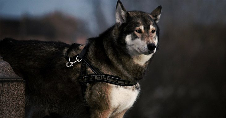Best Harness For Husky Update 2018 Buyer S Guide