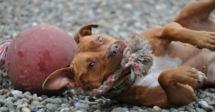 Best-Toys-For-Pit-Bulls4