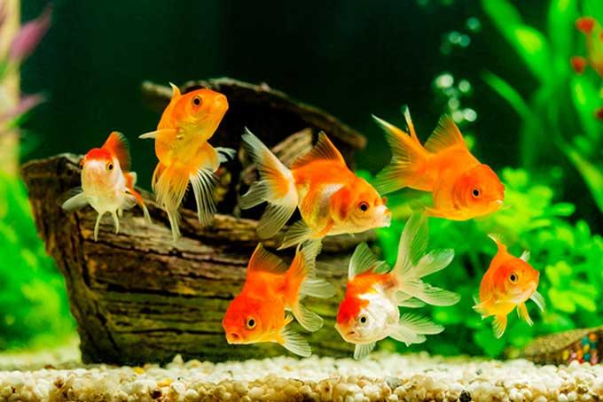 betta fish vs goldfish