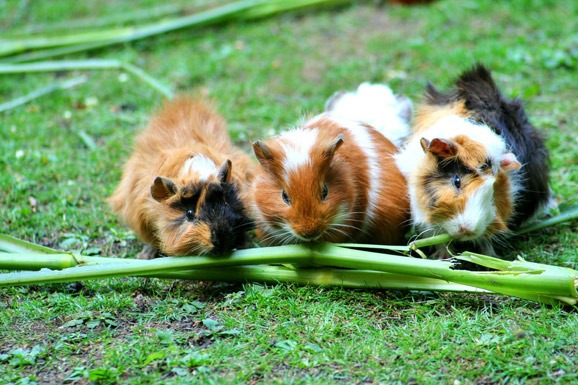 best-food-for-guinea-pigs