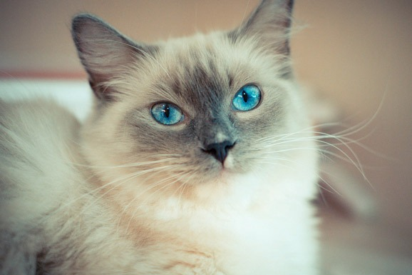 ragdoll-cat-breed-tips