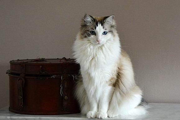 ragdoll-cat-personality