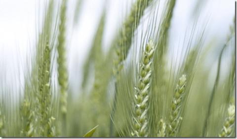 Wheat GMO Genetically Modified crop
