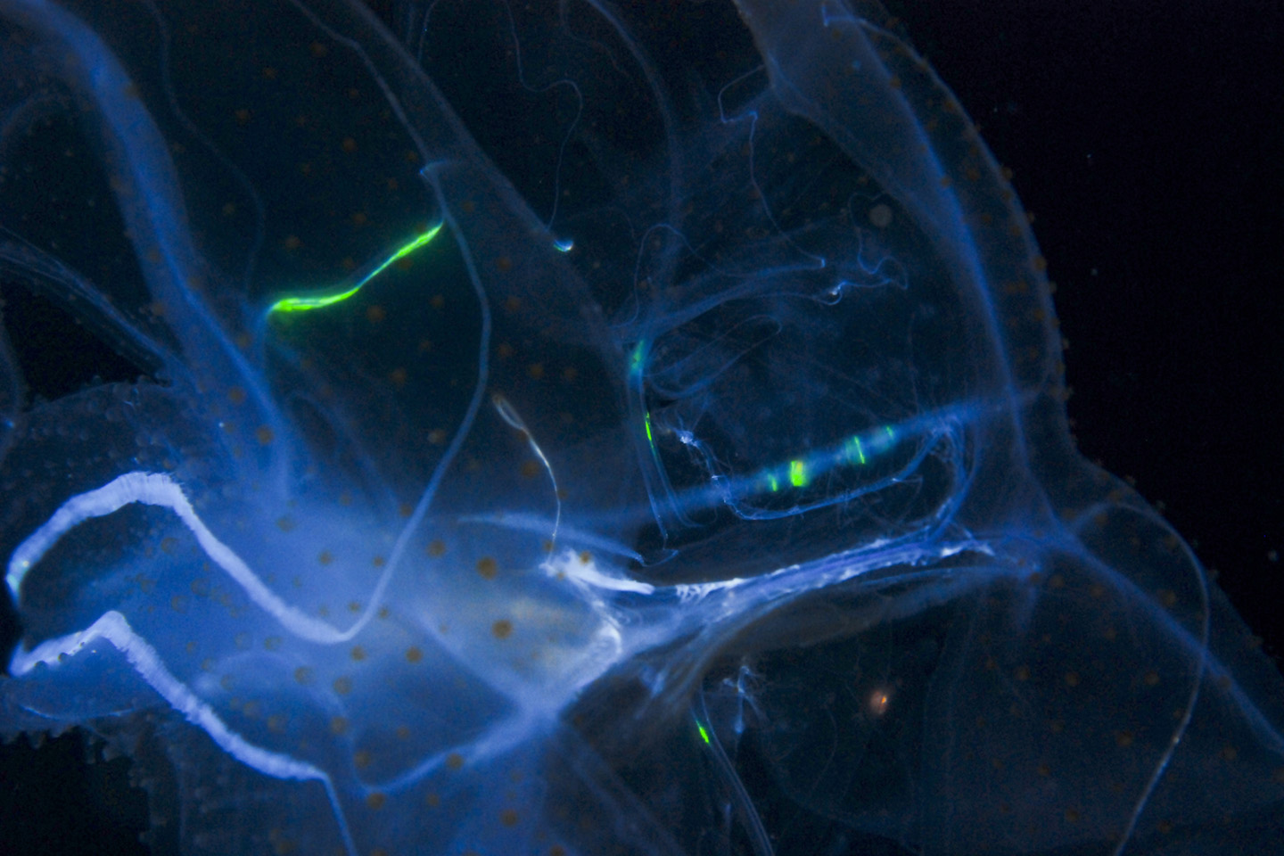 Can we harness bioluminescent light from organisms for everyday lighting & other practical purposes