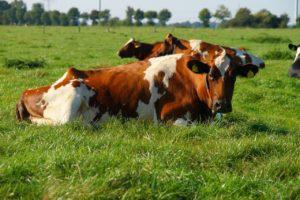 cow-1694322_1280