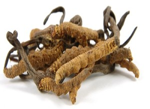 cordyceps (1)