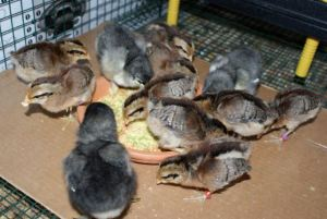 12 baby chicks eating homemade mash on a plate.