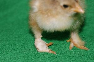 Baby chick standing up with a bandaged foot