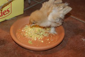 Yellow baby chick eating homemade mash on a plate