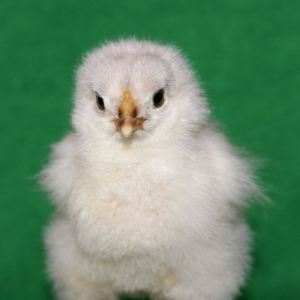 Baby chick portrait