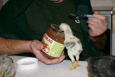 Baby chick eating chocolate