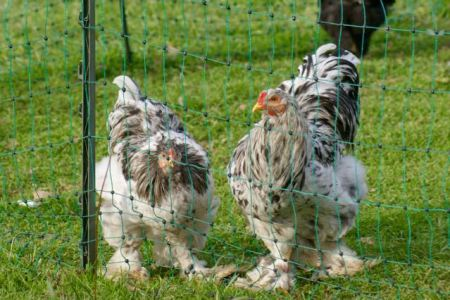 portrait of Kansas and Glass our two young splash brahmas