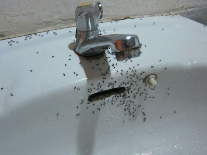 Ants in the sink