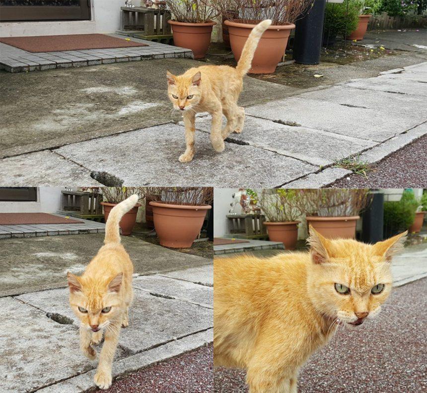 angry cat, okinawa