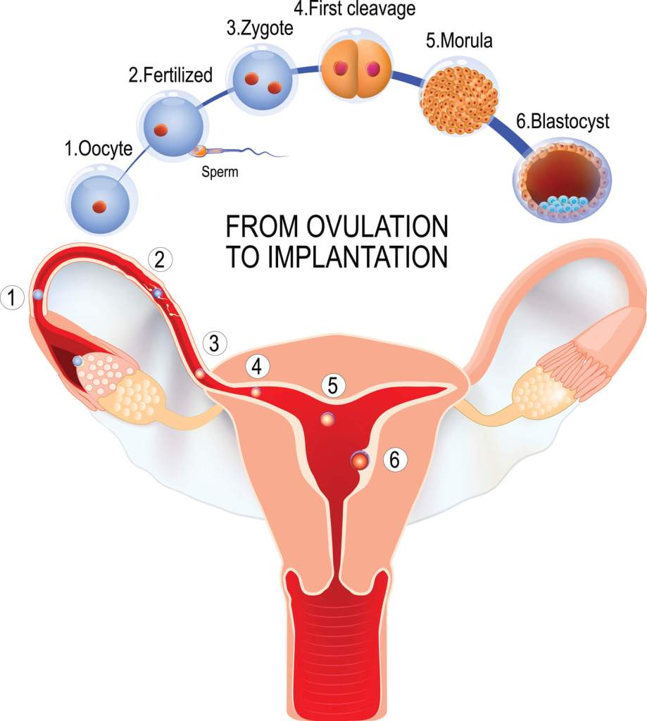 From ovulation to fertilization; how a Blastocyst is formed