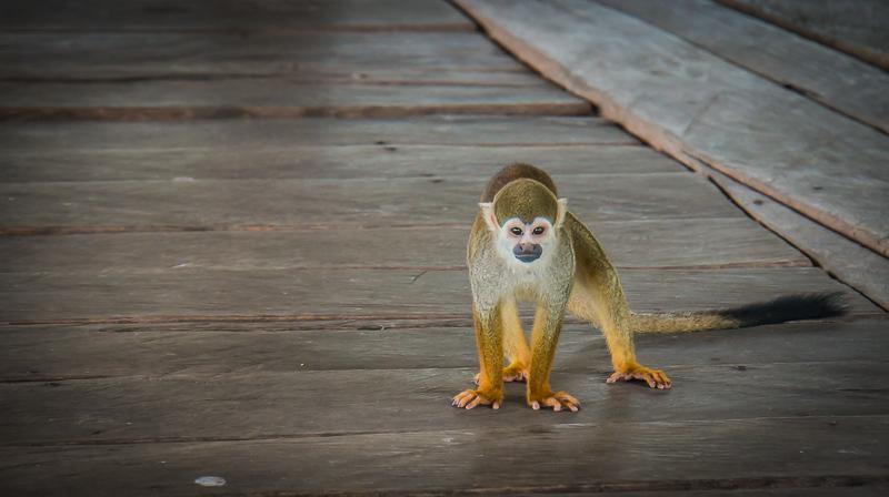 Amazon's Squirrel Monkey