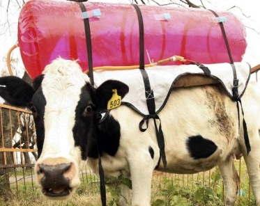 Une eco vache ?