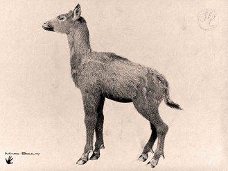 01-ampelomeryx-femelle-1024x767