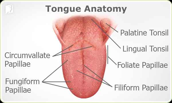 Image result for tongue papilla