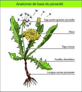 Le Pissenlit détoxifiant, diurétique, anti-oxydant puissant