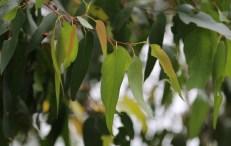 Showing bronze new growth of Messmate leaves, Edward Hunter Heritage Bush Reserve