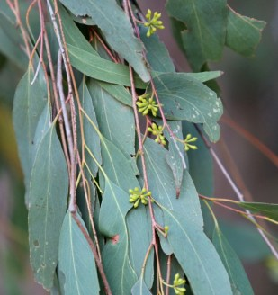 Shows peppermint eucalypt leaves and buds, Edward Hunter Heritage Bush Reserve