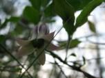 Flower of common apple-berry (billiardiera mutabilis) with fruit forming, Edward Hunter Heritage Bush Reserve