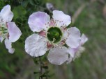 Close up of flower of prickly tea tree, leptospermum juniperium, Edward Hunter Heritage Bush Reserve