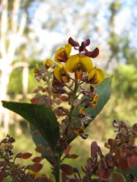 Flowers of hop bitter pea, daviesia latifolia, Edward Hunter Heritage Bush Reserve
