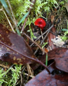 Shows sole tiny red fungus, Edward Hunter Heritage Bush Reserve