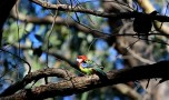 Shows Eastern rosella, Edward Hunter Heritage Bush Reserve