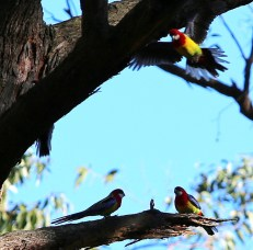 Shows group Eastern rosellas, Edward Hunter Heritage Bush Reserve