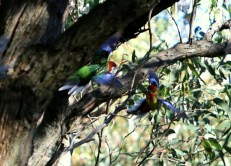 Squabbling Eastern rosellas in flight, Edward Hunter Heritage Bush Reserve