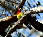 Eastern rosella, view from underneath, Edward Hunter Heritage Bush Reserve