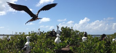 Frigate bird chicks in the frigate bird sanctuary on sister island Barbuda