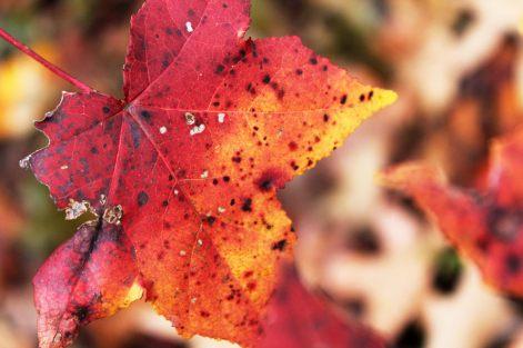 Fiery Foliage