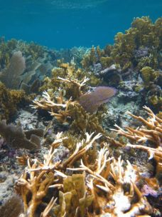 Staghorn corals suffering from bleaching near the coral nursery.