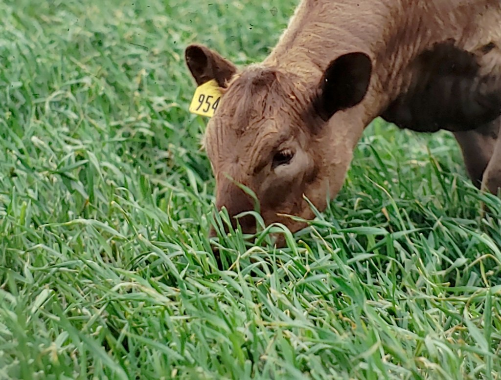 cow eating triticale