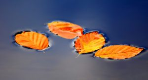 Gele bladeren in water